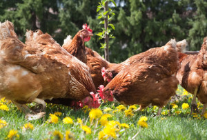 good backyard chickens - source